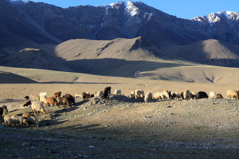 Pascolo delle pecore alle montagne selvagge del Kirghizistan immagine stock libera da diritti