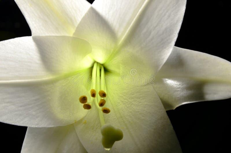 Pascua lilly foto de archivo libre de regalías