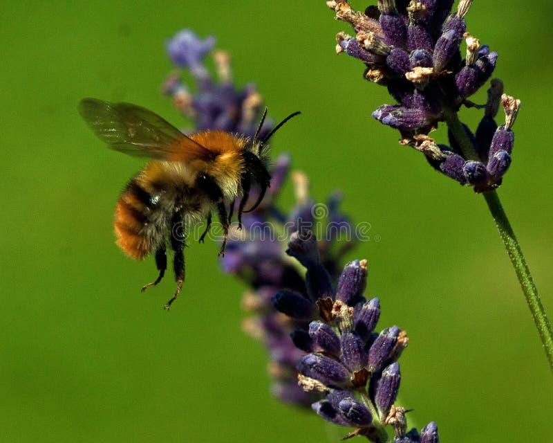 Pascuorum del Bombus di volo intorno ai fiori fotografia stock libera da diritti