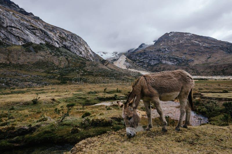 Pase mulas pastoreando en el campamento de Taullipampa y restos de una avalancha en el fondo de la caminata de la quebrada santa  imagen de archivo libre de regalías