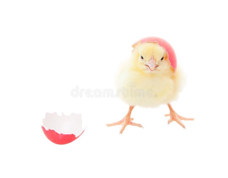 Pasen Chick Pink royalty-vrije stock foto