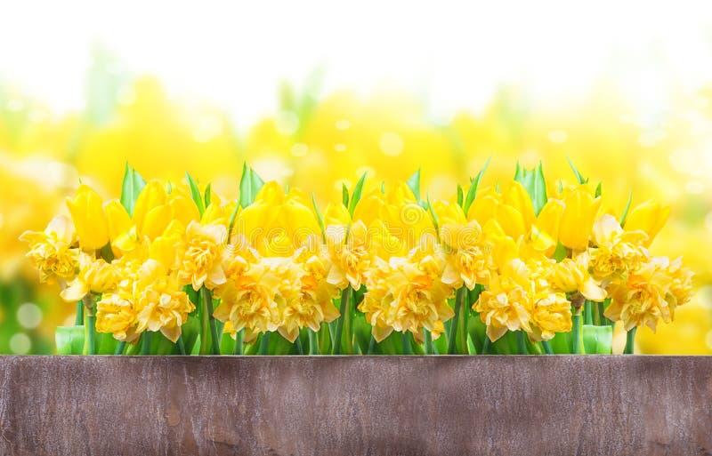Pasen-kaart, gele narcissen, tulpen stock afbeeldingen
