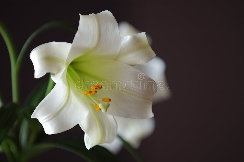 Pasen Lilly stock foto's