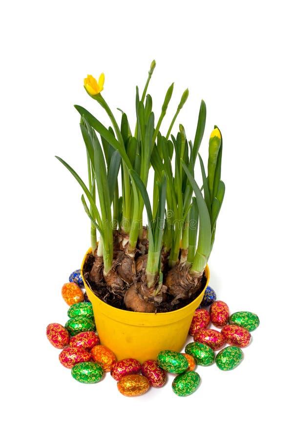 Pasen-narcissenbloemen en chocoladeeieren stock foto
