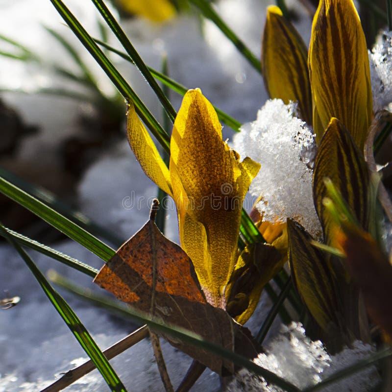 Pasen-Tulpen die door Verse de Lentesneeuw te voorschijn komen royalty-vrije stock afbeelding