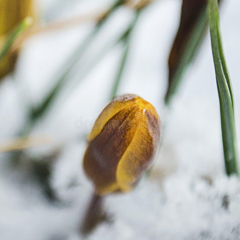 Pasen-Tulpen die door Verse de Lentesneeuw te voorschijn komen stock foto