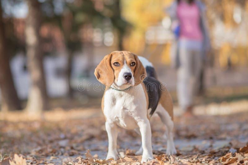 Paseo con el perro del beagle imagen de archivo libre de regalías