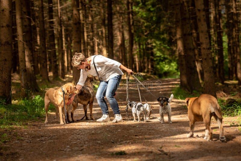Paseo con muchos perros en un correo Caminante del perro con diversas razas del perro en el bosque fotografía de archivo libre de regalías