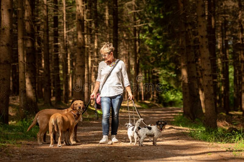 Paseo con muchos perros en un correo Caminante del perro con diversas razas del perro en el bosque imagen de archivo