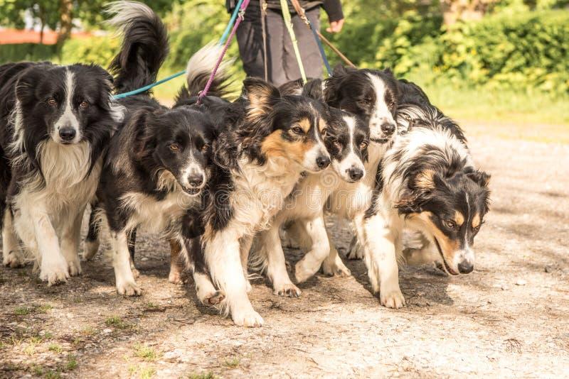 Paseo con muchos perros en un correo Muchos collies del boerder imagen de archivo