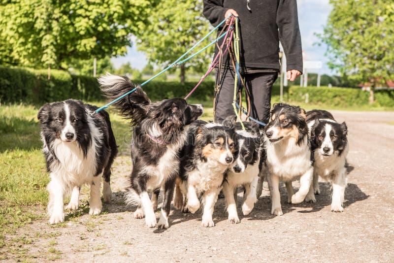 Paseo con muchos perros en un correo Muchos collies del boerder fotos de archivo libres de regalías