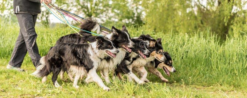 Paseo con muchos perros en un correo en la naturaleza Borderes collie fotografía de archivo