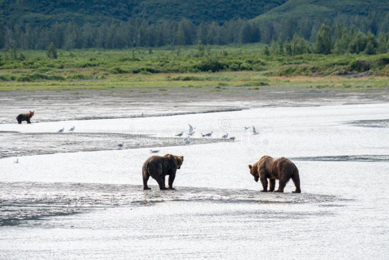 Paseo costero de Alaska del grisáceo de los osos marrones a lo largo de la playa en el parque nacional de Katmai imágenes de archivo libres de regalías