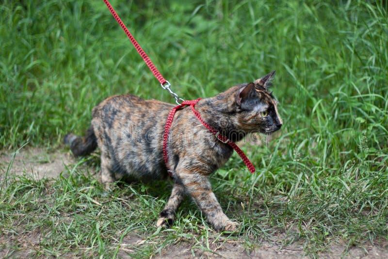 Paseo con un gato imagen de archivo libre de regalías