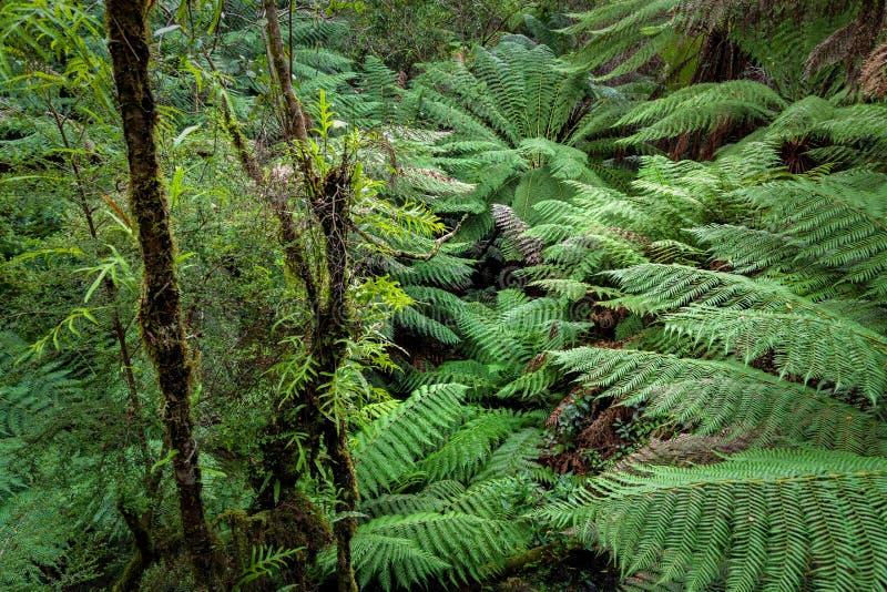 Paseo de la selva tropical del resto de Maits, gran parque nacional de Otway, Victoria, Australia fotos de archivo libres de regalías