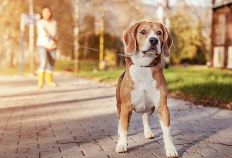 Paseo del beagle en la ventaja larga en el parque del otoño fotos de archivo