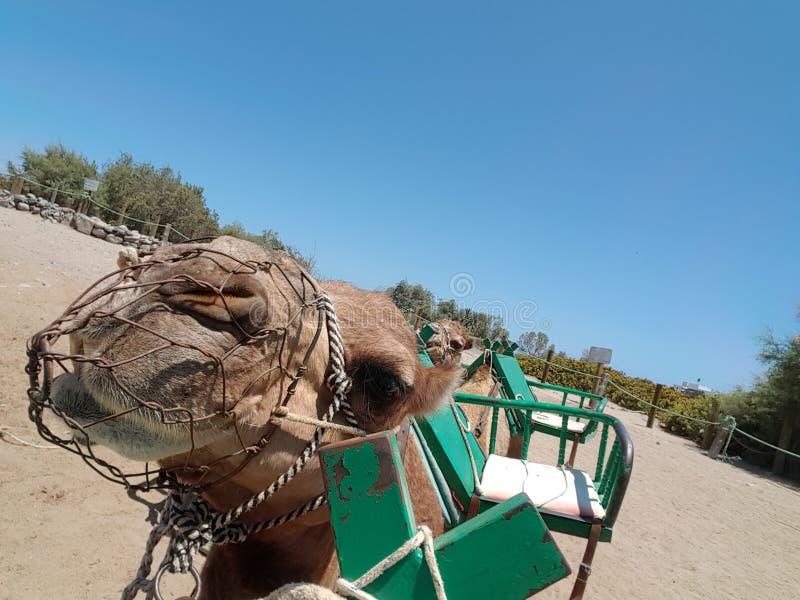 Paseo del camello fotos de archivo