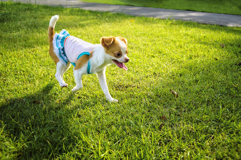 Paseo del perrito de la chihuahua en el césped foto de archivo