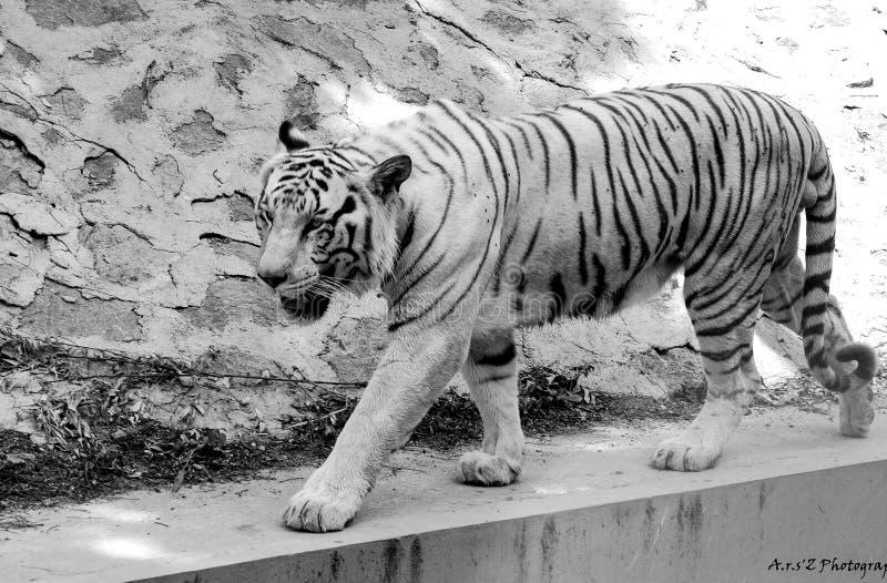 Paseo del tigre real fotografía de archivo libre de regalías
