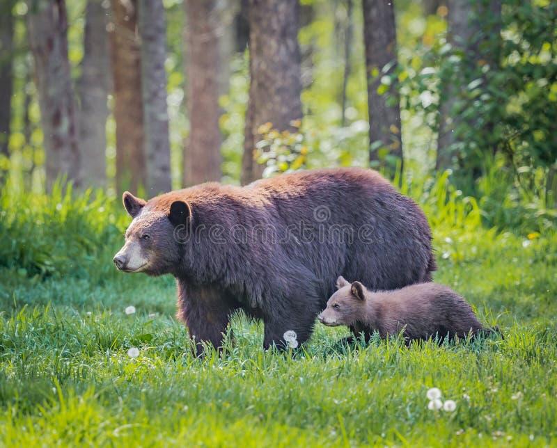 Paseo femenino del oso marrón y del cachorro a través del bosque foto de archivo libre de regalías