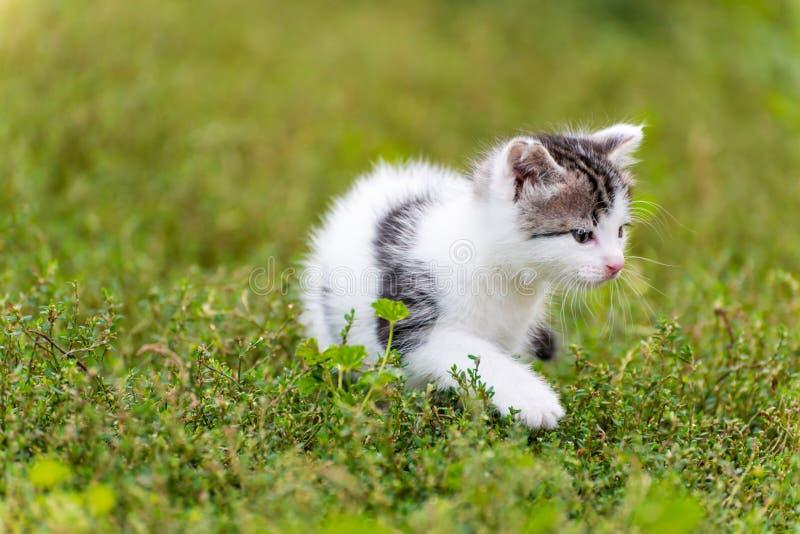 Paseo manchado del gatito en la hierba en el jardín fotos de archivo
