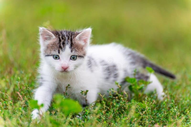 Paseo manchado del gatito en la hierba en el jardín imagenes de archivo