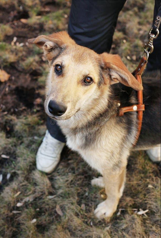Paseo mestizo del perro con su dueño imagen de archivo