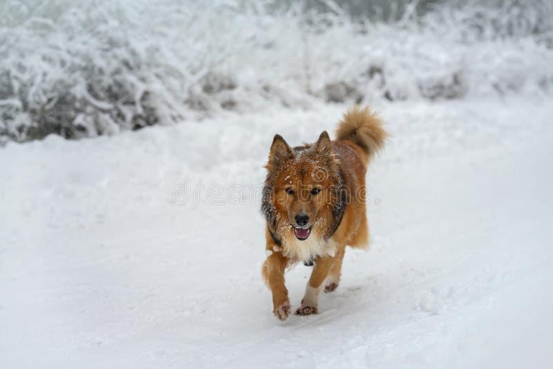 Paseo sano alegre del perro rojo en un parque del invierno, bosque cubierto con nieve mullida imagenes de archivo