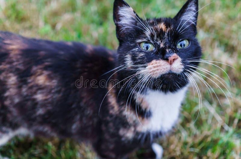Paseos de gato blancos y negros jovenes en la yarda del país fotografía de archivo