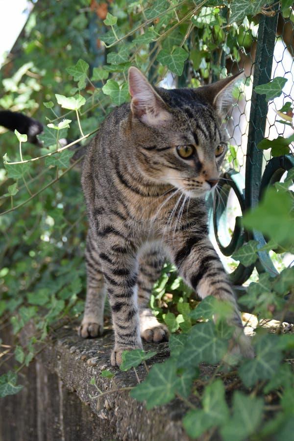 Paseos de gato de tigre en una cerca cubierta con la planta de la enredadera fotografía de archivo
