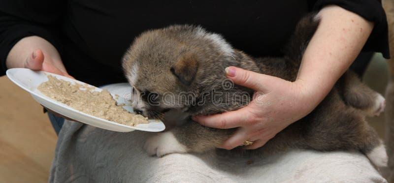 Pasgeboren Akita Inu-puppy royalty-vrije stock afbeeldingen
