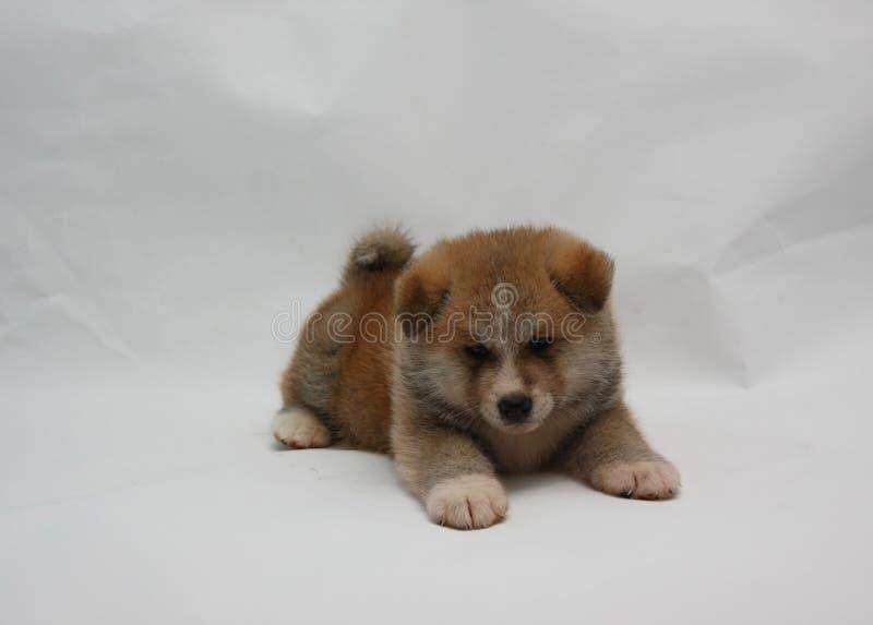 Pasgeboren Akita Inu-puppy stock foto's