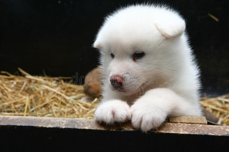 Pasgeboren Akita Inu-puppy stock foto