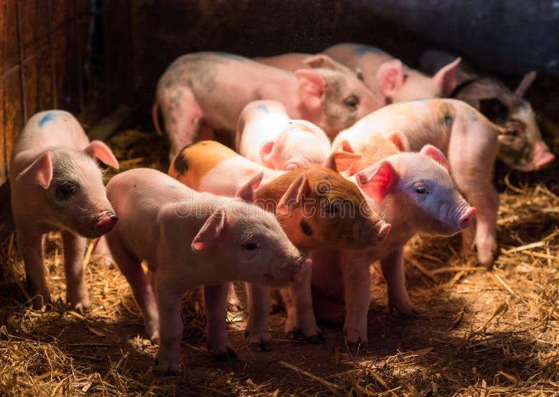Pasgeboren babyvarkens in het stronest stock afbeeldingen