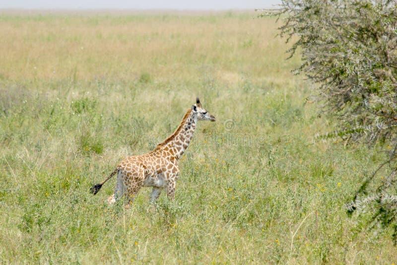 Pasgeboren giraf in savanne royalty-vrije stock fotografie