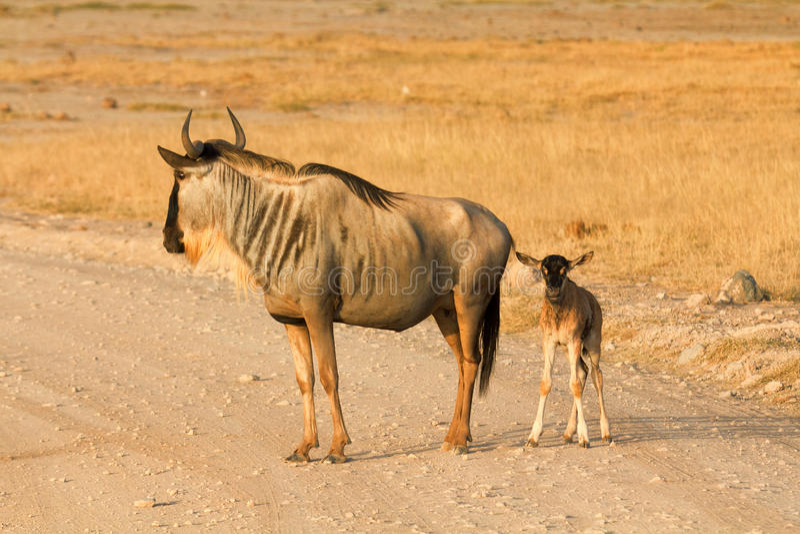 Pasgeboren het meest wildebeest in Amboseli-Park, Kenia stock afbeeldingen