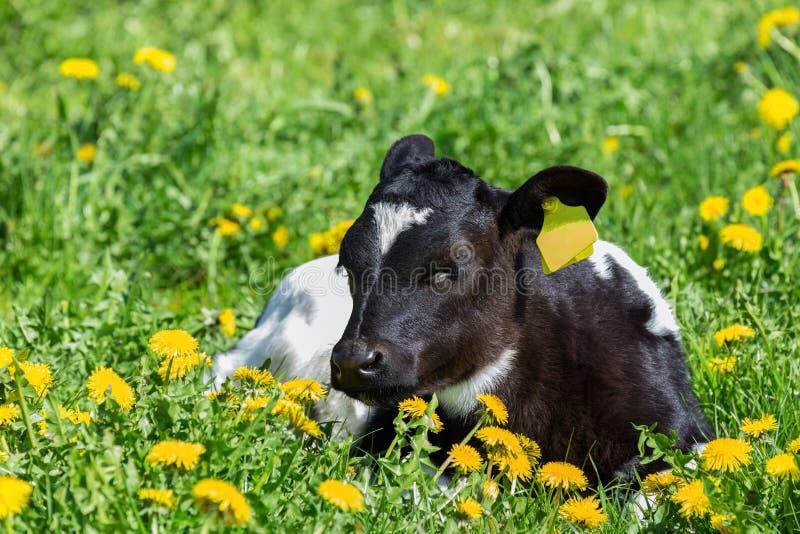Pasgeboren kalf die in groene weide met gele paardebloemen liggen stock foto
