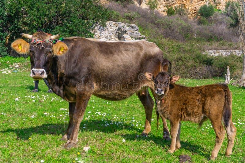 Pasgeboren kalf en moederkoe die aan camera kijken Marmaris, Turkije Praireachtergrond stock afbeeldingen