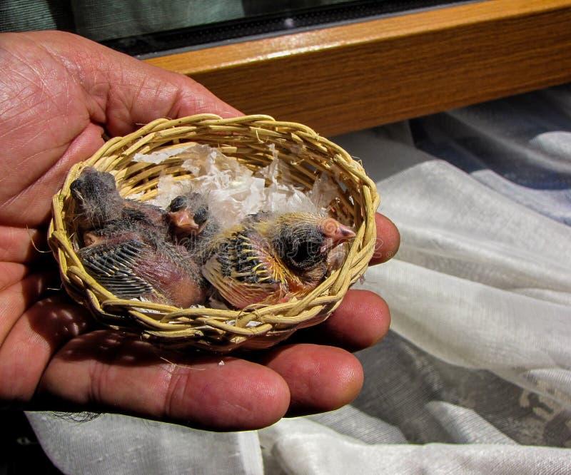 Pasgeboren kanaries stock afbeelding