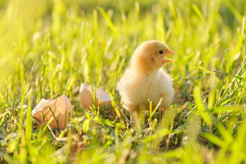 Pasgeboren kip met eierschaal, groene grasachtergrond in zonlicht royalty-vrije stock afbeeldingen