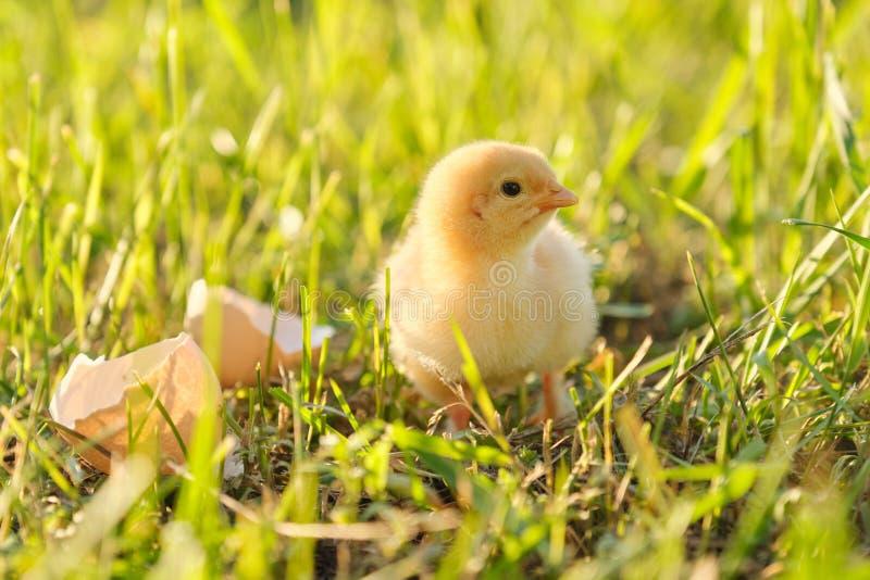 Pasgeboren kip met eierschaal, groene grasachtergrond in zonlicht stock foto's