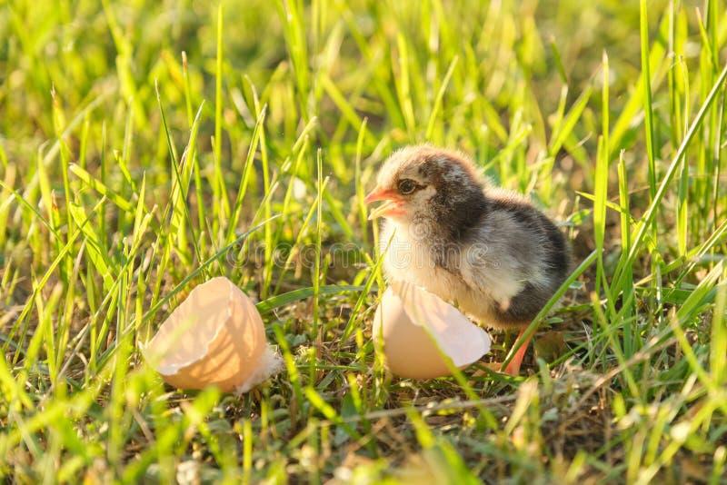 Pasgeboren kip met eierschaal, groene grasachtergrond in zonlicht royalty-vrije stock afbeelding