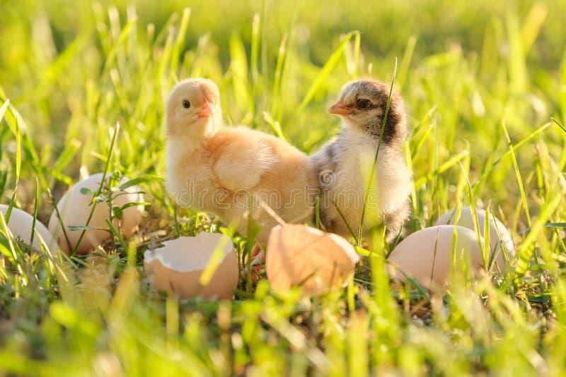Pasgeboren kip twee met gebarsten eierschaaleieren Zonnige grasachtergrond stock afbeelding