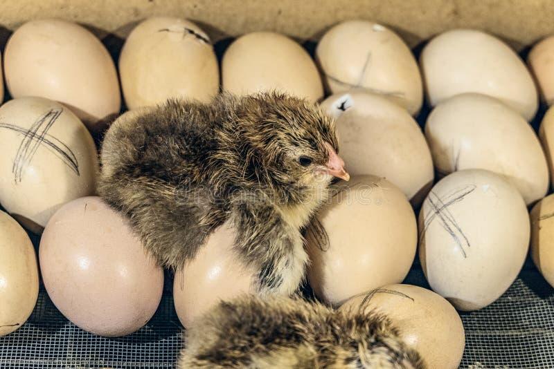 Pasgeboren kuiken die op kippeneieren liggen royalty-vrije stock foto