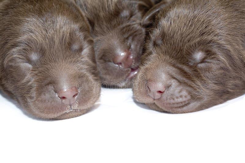 Pasgeboren puppy royalty-vrije stock foto's