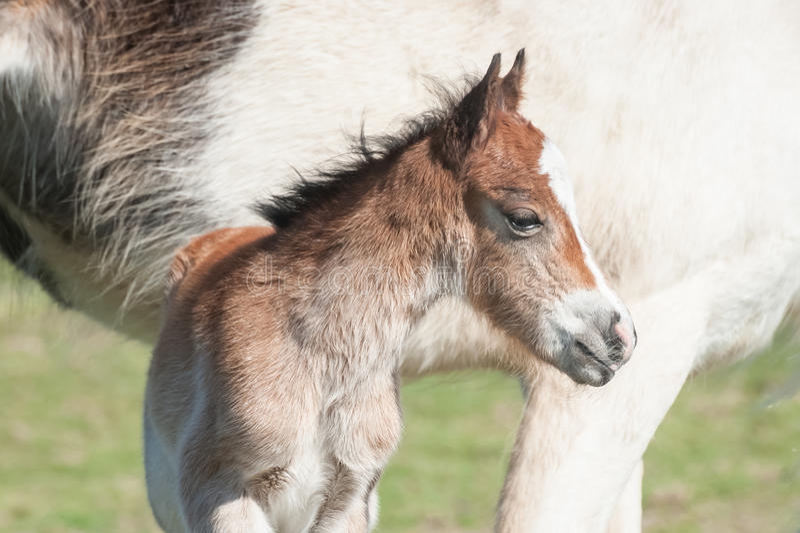 Pasgeboren veulenportret stock afbeelding