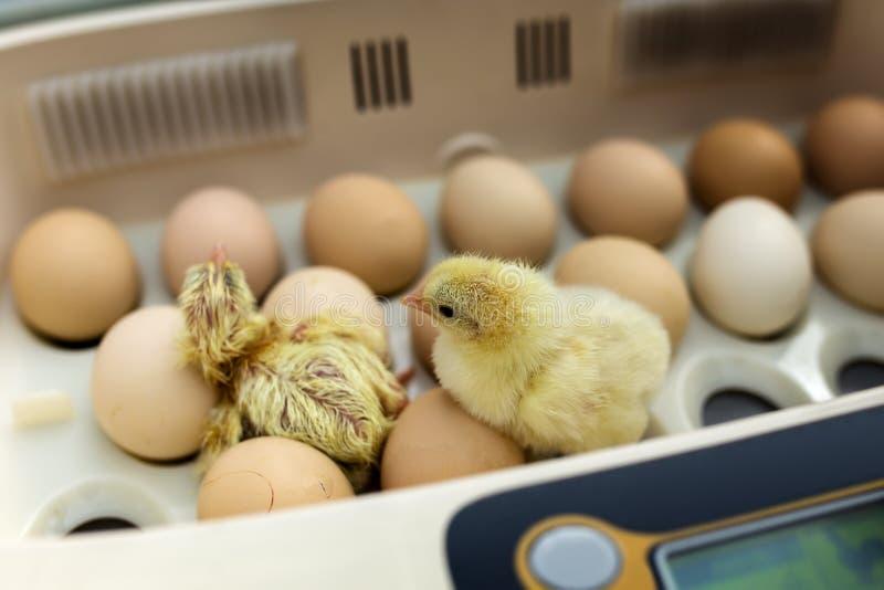 Pasgeboren weinig gele kip in incubator stock afbeeldingen