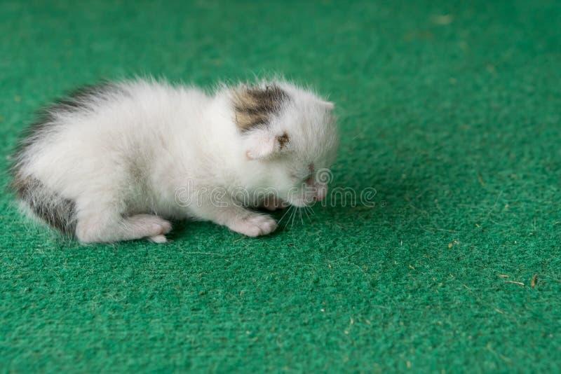 Pasgeboren wit en grijs katje op een groen tapijt Witte kattennewbo royalty-vrije stock foto's