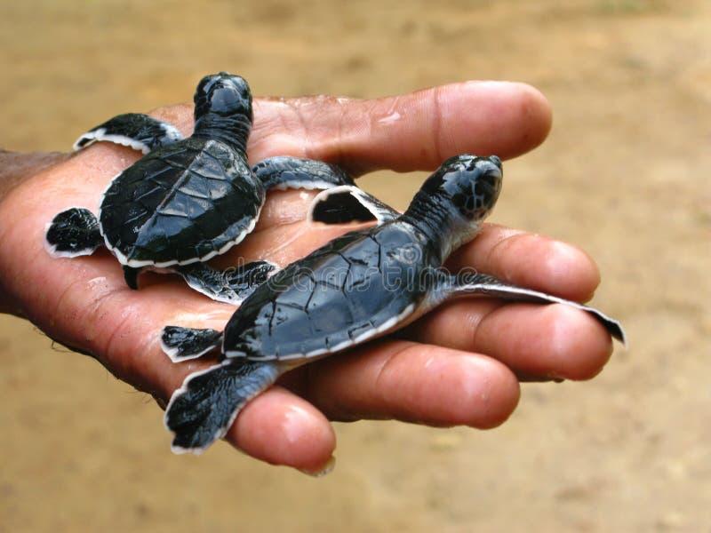 Pasgeboren zeeschildpadden, Ceylon, Sri Lanka royalty-vrije stock foto
