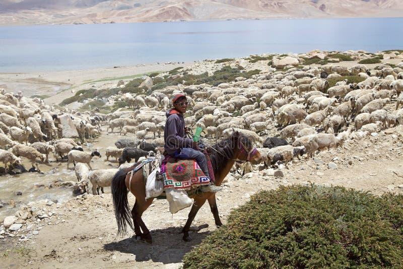 Pashmina baca w Ladakh i kózki, India zdjęcie stock